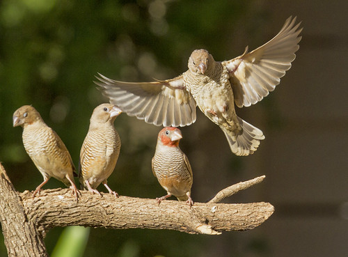 Red-headed Finch , female landing , _9099