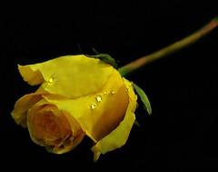 ~One rose says more than the dozen....~   Wendy Craig (nushuz) Tags: flower waterdroplets onblack smileonsaturday blackattheback yellow droplets light singlerose onerosesaysmorethanadozen frommygardenaftertherain thedropletslookliketinydiamonds