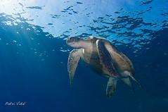 Green sea turtle (Chelonia mydas) (Patxikun) Tags: seaturtle turtle green redsea egypt cheloniamydas chelonia