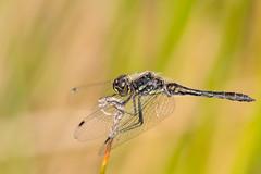 Black Darter (Gareth Keevil) Tags: autumn bird birds blackdarter dorset dragonfly garethkeevil insect male maleblackdarter nikon nikon500mm nikond500 rspb rspbarne sunshine uk wessex wild