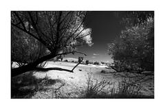 INFRARED LANDSCAPE (daz672) Tags: nikonf5 1835mm infrared 720nmfilter macoeagle400 macoinfrared blackandwhite landscape blacknwhite tree atmosphere australia