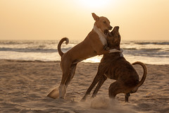 Dogs at Sunset, Down by the Sea, Lompoul (Geraint Rowland Photography) Tags: animals dogs animalsfighting dogsfighting wilddogs senegalesedogs lompoul senegal africa westafrica sandy ocean sunset settingsun goldenhour canon 85mm focusinphotography highshutterspeed travelinsenegal outsideofdakar doggy geraintrowlandphotography