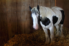 Gabriel I (meniscuslens) Tags: rescue pony skewbald stable straw panel wood horse trust charity buckinghamshire gabriel