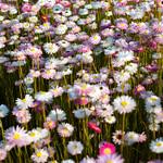 Daisy Field thumbnail