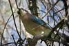 Gaio (Eurasian Jay) (Carlos Santos - Alapraia) Tags: ngc ourplanet animalplanet canon nature natureza wonderfulworld highqualityanimals unlimitedphotos fantasticnature birdwatcher bird ave gaio eurasianjay