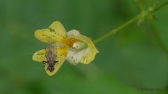 Fliege / fly (Oerliuschi) Tags: fliege fly blüte flower lumix panasonicgh5 olympusm60 schärfentiefe gelb