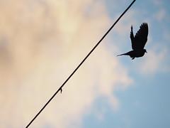 Liberté - It's time to set you free (Ji-) Tags: oiseau bird colombe dove ciel sky nuage cloud electric cable électrique contrejour olympus omdem10markii mzuiko75300mmf4867ii magog québec canada