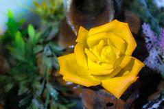 Rose on the fountain ... (Cristian Ciaffone) Tags: rose rosa mostaza amarilla cascada fuente nikon d90 1855 desenfoque