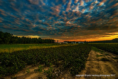 Cotton in Twilight Field. (T i s d a l e) Tags: tisdale cottonintwilightfield farm field cotton repairsheds clouds summer september 2017 easternnc