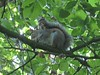 Squirrel 001 17-09-2017 (gallftree008) Tags: greysquirreleatingconkerintheknocksedan jackolinearpark brackenstown rivervalley swords codublin ireland grey squirrel conker tree eating chestnut nut nature wildlife county co dublin fingal forest greenery green irishwildlife jacko jackopark knocksedan leaves leaf naturescreations naturesbeauties park river ward wardriver trees thewardriver underthetrees