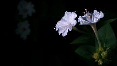 Glowing flower! (arun6it) Tags: iamnikon 50mm18 d7200 whiteflowers nikon flower flowers white dark light bright