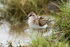 Little stint (Shane Jones) Tags: littlestint wader bird wildlife nature nikon d500 200400vr tc14eii