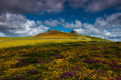 Final flourish (snowyturner) Tags: dartmoor haytor flowers landscape sky clouds heather gorse summer golden