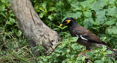Indian myna (praveen.ap) Tags: myna