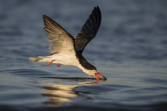 Skimmer...{Explored} (DTT67) Tags: blackskimmer skimmer birds flight bif nature wildlife canon ocean fishing 1dxmkii 500mmii 14xtciii