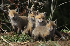The gang is all here.... Red Fox kits.. (Guy Lichter Photography - 3.5M views Thank you) Tags: canon 5d3 canada manitoba wildlief animals mammal mammals fox redfox kit kits