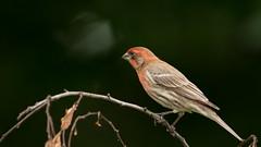 Looking into the Dark Bokeh (Ken Krach Photography) Tags: finch bird