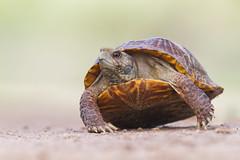 Western Box Turtle (Davor Desancic) Tags: rio bosque wetlands park riobosquewetlandspark elpaso texas westernboxturtle western box turtle