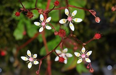 Starry Saxifrage - Saxifraga stellaris - Zillertal Austria -July17 (3) (ailognom2005) Tags: starrysaxifrage saxifragastellaris zillertalaustria zillertal austria flora florafauna flowers