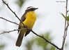 Rusty-margined Flycatcher