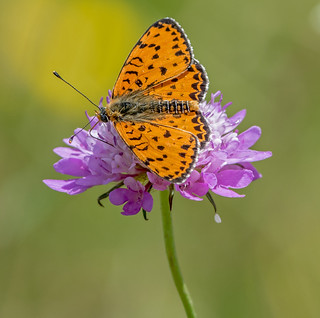 DSC1411  Spotted Fritillary..