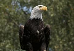 Zeearend (ToJoLa) Tags: canon canoneos60d dierentuin beeksebergen dieren animal summer zomer nature natuur zoo