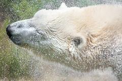 Shake It! (helenehoffman) Tags: actic bear wildlife conservationstatusvulnerable mammal water ursusmaritimus sandiegozoo tatqiq polarbear ursidae polarbearplunge animall specanimal coth coth5