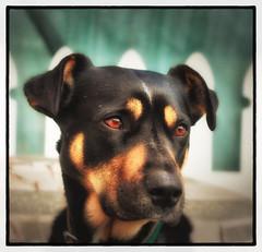 Joe (Kevin_Jeffries) Tags: animal 50mm portrait framed joe nikon nikkor d7100 dof crop canine