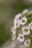 Howe (5 of 9).jpg (howekris10) Tags: alyssum sweetalyssum
