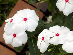 White Vincas. (dccradio) Tags: lumberton nc northcarolina robesoncounty outdoors outside nature nikon coolpix l340 bridgecamera vinca vincas flowergarden flowerbed flower floral flowers greenery plant leaf leaves foliage white whitevinca whitevincas brick bricks
