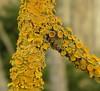 Xanthoria parietina (davidgenneygroups) Tags: lichen uk scotland xanthoriaparietina xanthoria parietina corticolous fertile foliose