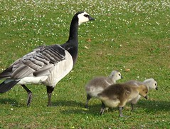 Mum can we bring a friend (Peanut1371) Tags: barnacle greylag gosling geese goose