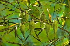 Elles sont revenues ..... (Hélène Quintaine) Tags: plante herbe asclépiade perruche jardin bambous herbeàouate nature création composition fruit contrejour extérieur asclépias vert herbeàperruche