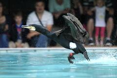 _MG_4202bis (henrirambaud) Tags: faune cormorant alsace parc aminal oiseau pêche