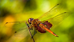 """Fast, Flashy and Bright"" Red Saddlebags (Tramea onusta) (Cathy Lorraine) Tags: fast flashy bright skimmer redsaddlebags northamerica irvine california wings red bokeh dragonfly macro insect animal outdoors nature colorful marshes ponds light july summer coth5 ngc npc"