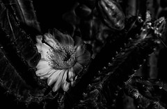 Cereus Repandus (Amazing Aperture Photography) Tags: blackandwhite flora flower cactus nightbloom peruvianapplecactus cacti night evening dark nightbloomingcereus desert arizona tucson nikon nikond800 tamron