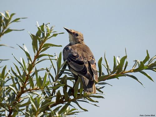 Common starling, immature