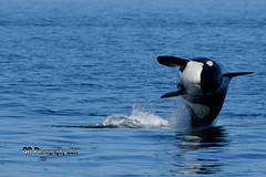 Orca Breach DSC_5949 (Ron Kube Photography) Tags: vacation bcvacation2017 2017 holidays nikon nikond500 d500 ronaldok ronkubephotography orca killerwhale