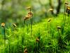 Goldilocks moss / (vanlig) Bjørnemose (Bjorn-Erik Skjoren) Tags: youpic summer macro polytrichum vanligbjørnemose mose commonhaircap bjørnemose polytrichumcommune goldilocks onlythebestofnature