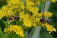 Les jumeaux (BrigitteChanson) Tags: fleurs flowers fiori flores jaune yellow giallo amarillo insectes insetti insect insectos syrphe été summer verano estate
