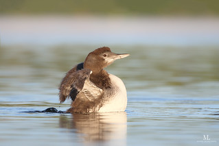Common loon - Plongeon huard - Gavia immer