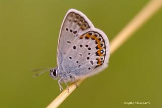 ...  Argo (Plebejus argus Linnaeus 1758)