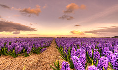 The day the Earth turned purple. (Alex-de-Haas) Tags: oogvoornoordholland 1635mm d750 dutch europe hdr holland nederland nederlands nikkor nikon noordholland thenetherlands bloei bloem bloemen bloemenbijeenkomst bloemenveld clouds flower flowerfields flowerbed flowers landscape landschap lucht nature natuur plant skies sky wolken
