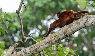 The-red-howling-monkey (Alouatta-seniculus)