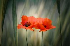 Because the sky is blue (hploeckl) Tags: poppy poppies meyergoerlitz meyeroptik diaplan 28100