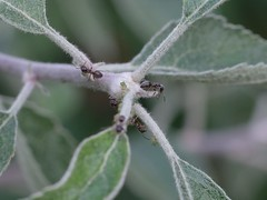Ants (Lasius alienus) with aphids on apple tree (theq629) Tags: animal ant canada bc gvrd newwestminster