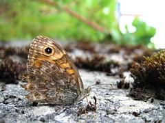 Butterfly 1437 (+780000 views!) Tags: butterfly borboleta farfalla mariposa papillon schmetterling فراشة