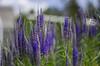 blooming (Stefano Rugolo) Tags: stefanorugolo pentax k5 smcpentaxm50mmf17 blooming garden stenegård hälsingland sweden summer purple bokeh flowers