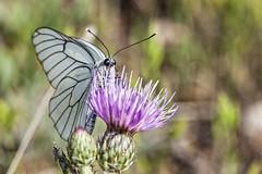Aporia crataegi (Jaume Bobet) Tags: aporia crataegi lepidoptera pieridae mariposa insecto macro bobet canon sigma