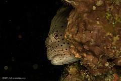 Red Sea (Dive Live) Tags: red sea macro underwater nauticam mergulho diving dive egito fotosub ocean oceano fish peixe